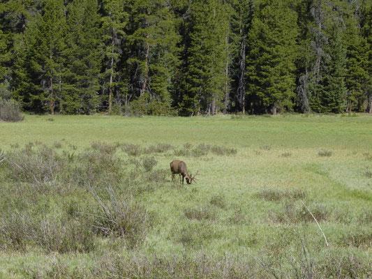 Wapiti (Elk ♂)