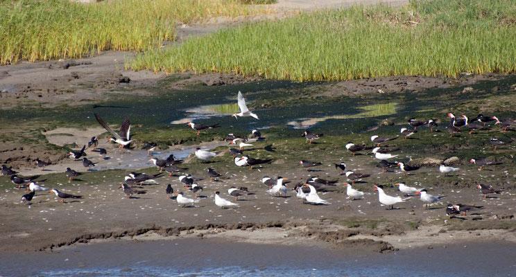 Raubseeschwalben und Schwarzmantel Scherenschnäbel, Golden Shore Marine Biological Reserve, Long Beach