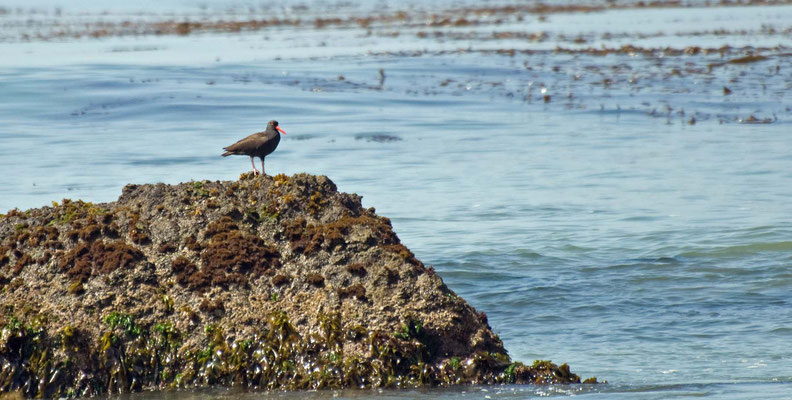 Klippen-Austernfischer, Estero Bluffs, California