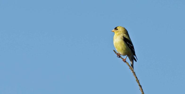 Goldzeisig ♂, MacKerricher State Park, California