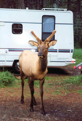 Elk (Wapiti Hirsch) im Campground