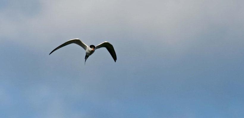 Sumpfseeschwalbe, Salt Marsh (Corte Madera Wetlands)