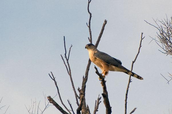 Rundschwanzsperber, Catalina State Park