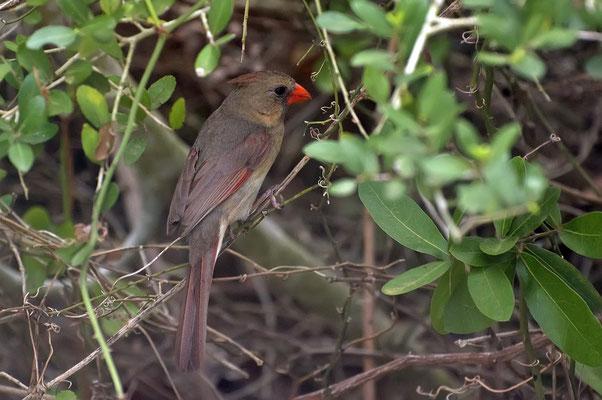 Roter Kardinal ♀, Goose Island State Park (Texas)