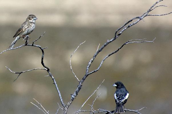 Prärieammern, re. ♂, Rockhound State Park