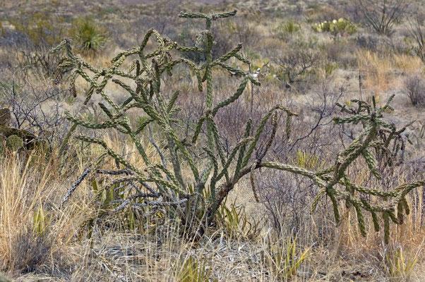 Kaktus, Ross Maxwell Scenic Dr