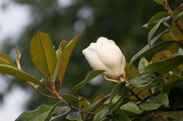 Charakterpflanze der Südstaaten Nordamerikas - Immergrüne Magnolie, High Falls State Park