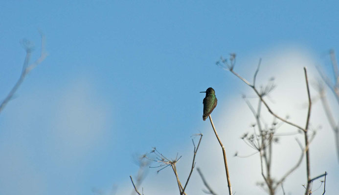 Anna's Hummingbird, Marin Park