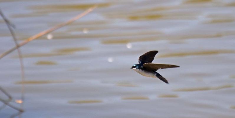 Sumpfschwalbe, Guadalupe-Nipomo Dunes (Oso Flaco Lake), California