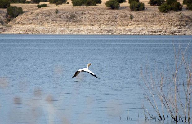 Weißer Pelikan im Brutkleid, Lake Pueblo, Colorado