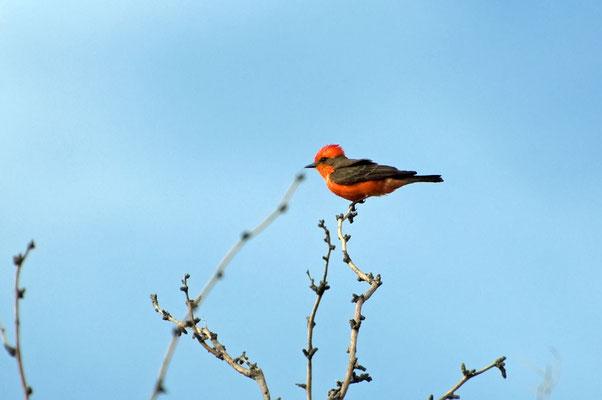 Rubintyrann ♂, Catalina State Park