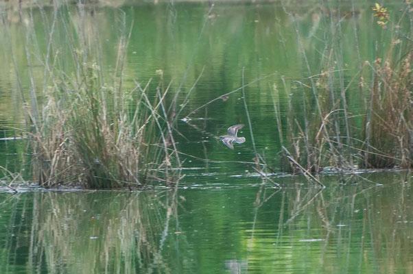 unbekannter Watvogel, Charlie Elliott Wildlife Refuge