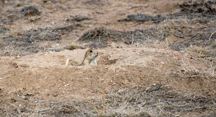Erdhörnchen, Lake Pueblo State Park, Colorado