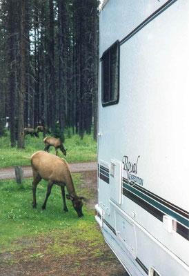 Elks (Wapiti Hirsche) im Campground