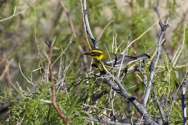 Townsend-Waldsänger, Rockhound State Park