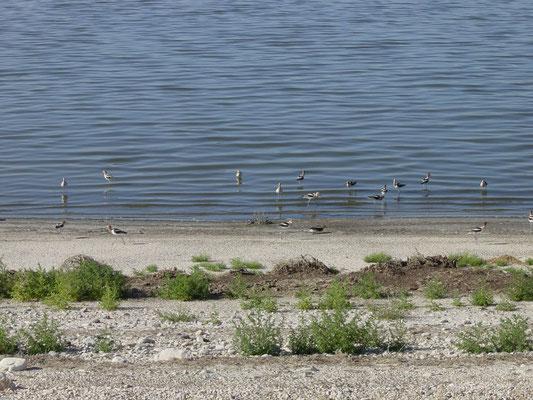 Braunhals-Säbelschnäbler, Antelope Island Rd, Great Salt Lake