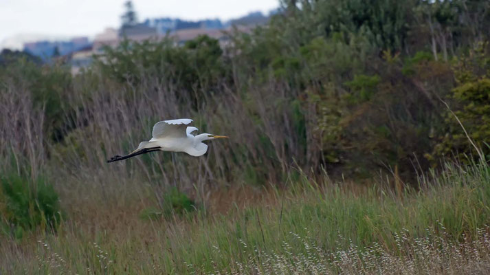 Amerikanischer Silberreiher, Salt Marsh (Corte Madera Wetlands)