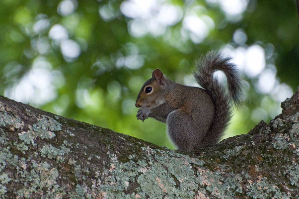 Grauhörnchen, Charlie Elliott Wildlife Refuge