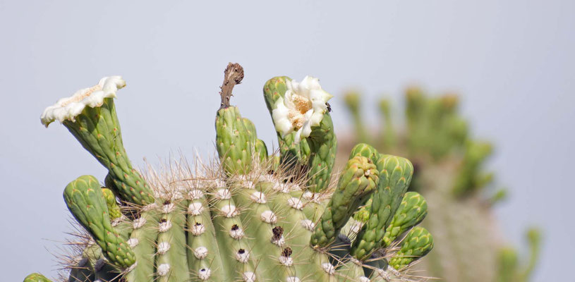 Saguaro Kaktus, Tra-Tel RV Park, Tucson, Arizona