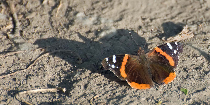 Red Admiral, Rancho Jurupa Park, Riverside, California