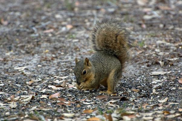 Grauhörnchen, Goose Island State Park (Texas)