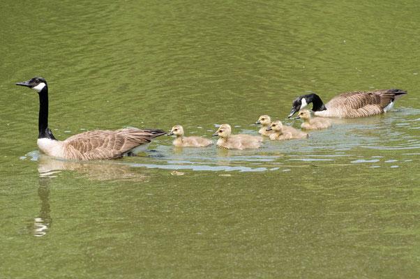 Kanadagans Familie, Charlie Elliott Wildlife Refuge