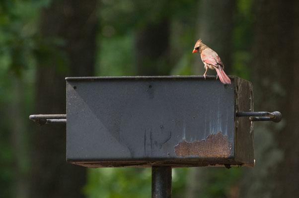 Roter Kardinal ♀, High Falls State Park