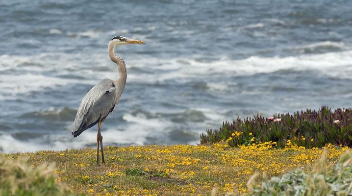 Kanadareiher, Carmet Beach, Sonoma Coast State Beach, California