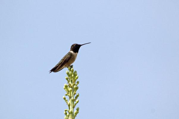 Breitschwanzkolibri, Boquillas Canyon Overlook