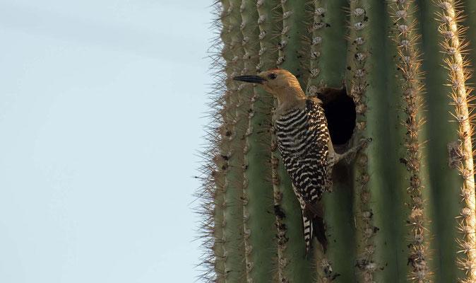Gilaspecht ♂ vor seiner Höhle in einem Saguaro Kaktus, Tra-Tel Tucson RV Park, Arizona