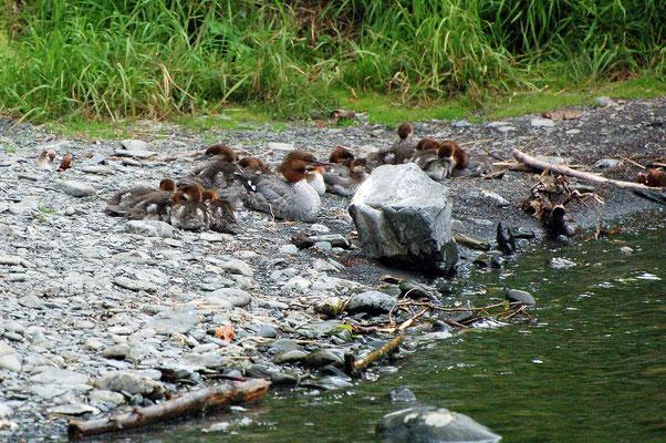Rothalstaucher Familie am Russian River