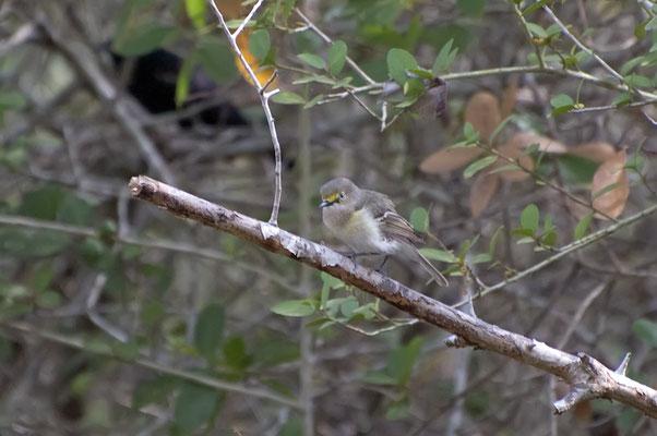 Weißaugenvireo, Goose Island State Park (Texas)