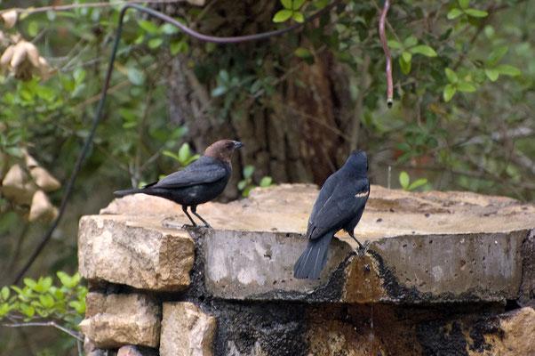 Braunkopf-Kuhstärling ♂ (li.) und Rotschulterststärling ♂ , Goose Island State Park (Texas)
