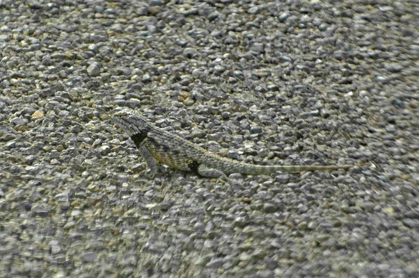 Lizard, Boquillas Canyon Overlook