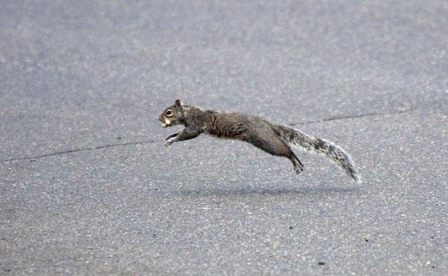 Grauhörnchen, vor der Abfahrt nach Astoria noch ein letzter Rundgang im Jantzen Beach RV-Park
