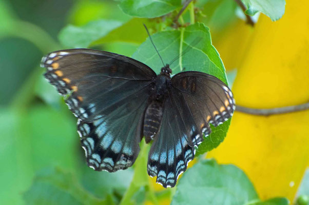 Red-spotted Purple, Indian Springs State Park