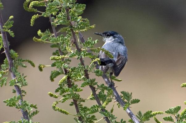 Schwarzschwanz-Mückenfänger ♂, Catalina State Park