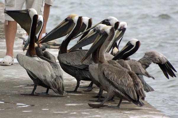 Braunpelikane, Goose Island State Park (Texas)