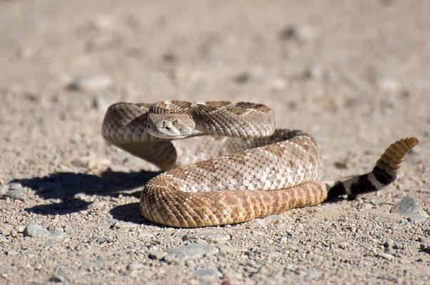 Western Diamondback Rattlesnake, Rockhound State Park, New Mexico