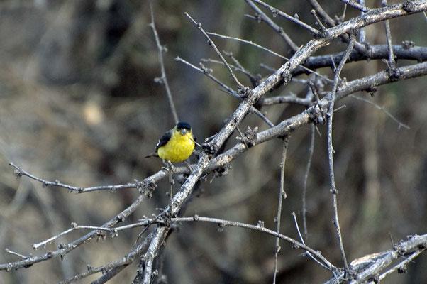 Goldzeisig ♂, Catalina State Park