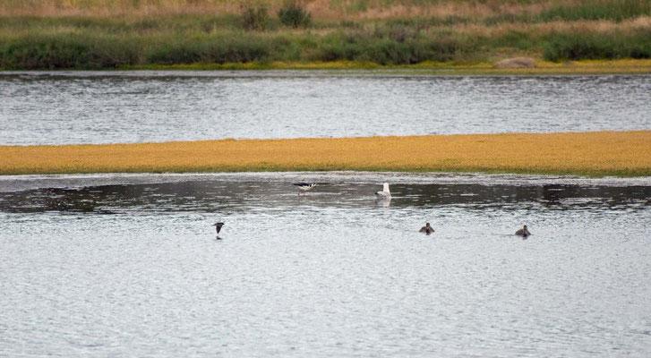 Salt Marsh, Greenbrae
