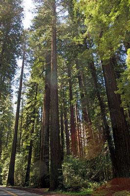 Küstenmammutbäume, Avenue of the Giants