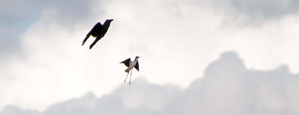 Säbelschnäbler attakiert Krähe, Salt Marsh (Corte Madera Wetlands)