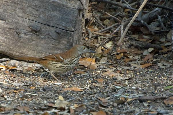 Langschnabel-Spottdrossel, Goose Island State Park (Texas)