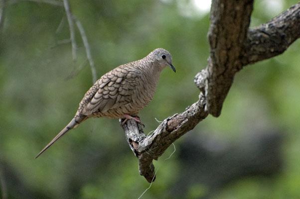 Inkatäubchen, Goose Island State Park (Texas)