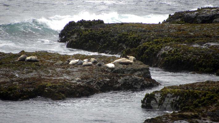 Seehunde, Abstecher zum Point Arena Lighthouse, California