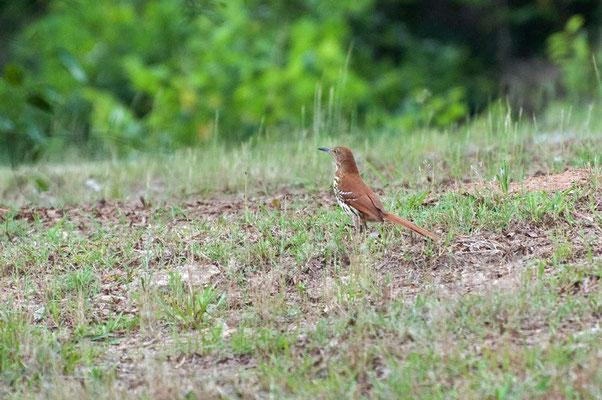 Rotrücken-Spottdrossel, Charlie Elliott Wildlife Refuge