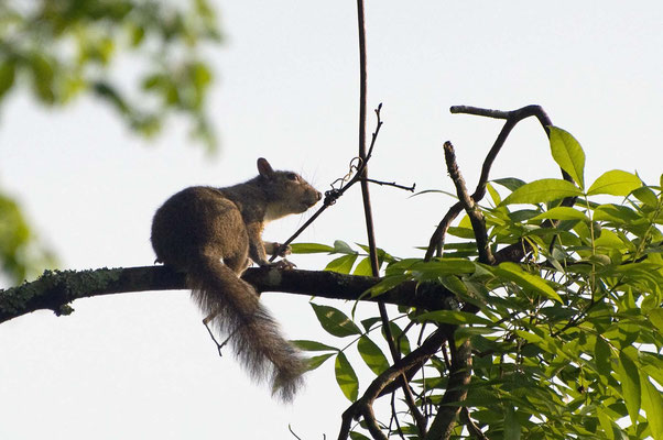Grauhörnchen, High Falls State Park