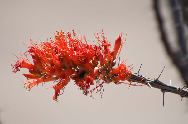 Ocotillo oder Candlewood, Rockhound State Park, New Mexico