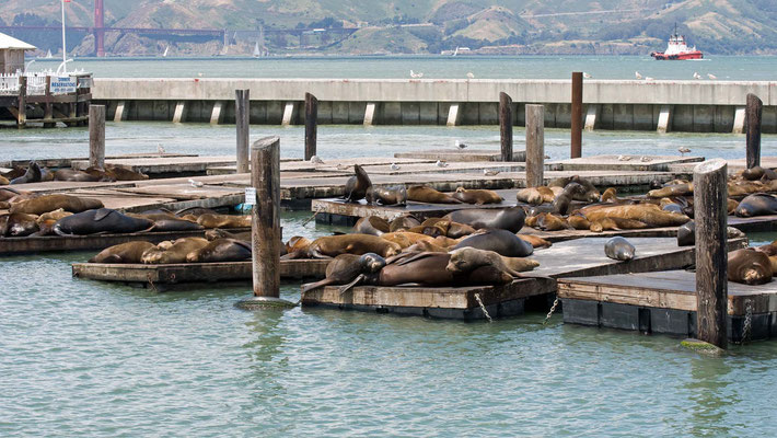 Kalifornische Seelöwen, Pier 39, San Francisco